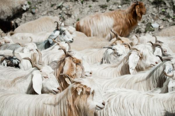 Do goats die for Cashmere?